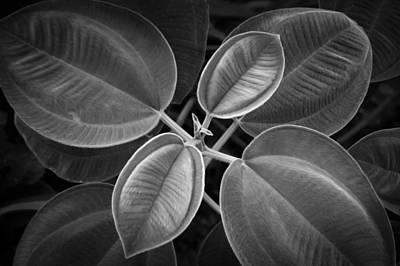 Photograph - Tibouchina Grandifolia Princess Flower Bw by Rich Franco