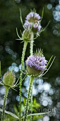 Photograph - Tickle Me Teasel by Lee Craig