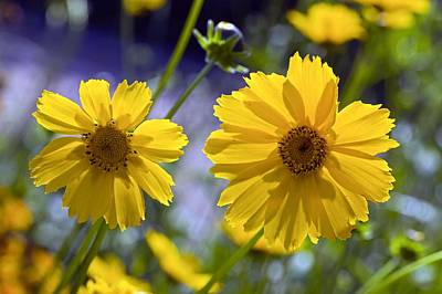 Tickseed Photograph - Tickseed (coreopsis Sp.) by Science Photo Library
