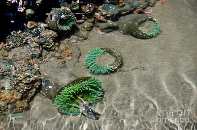 Photograph - Tide Pool Anemones by Adria Trail