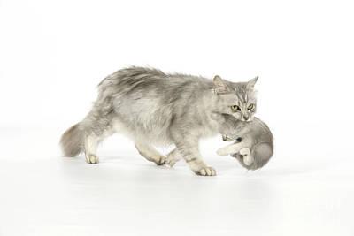 Pet Care Photograph - Tiffanie Cat And Kitten by John Daniels