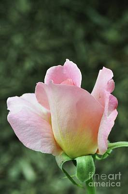 Photograph - Tiffany Hybrid Rose by Allen Beatty