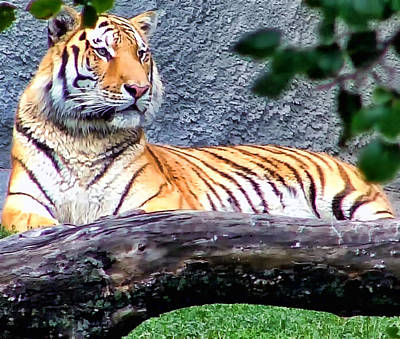 Photograph - Tiger 1 by Dawn Eshelman