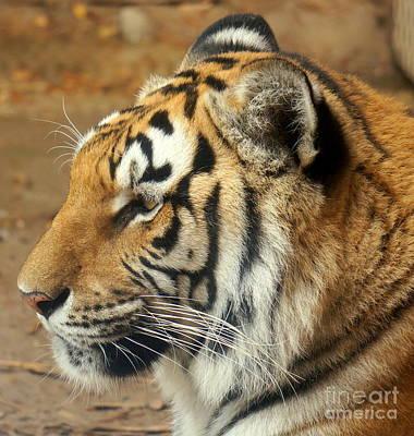 Photograph - Tiger 4 by Rachel Munoz Striggow