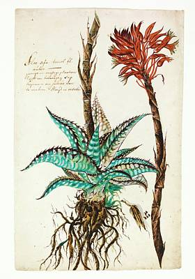 Tiger Aloe Art Print by Natural History Museum, London