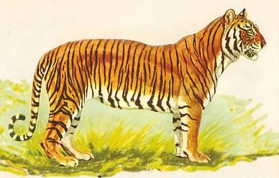 Tiger At Attention Art Print
