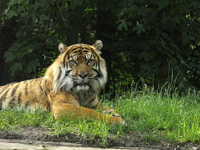 Art Print featuring the photograph Tiger At Rest by Lingfai Leung