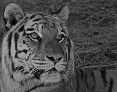 Of Tigers Photograph - Tiger Bw by Ernie Echols