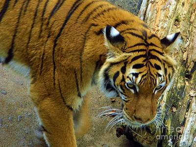 Photograph - Tiger Close Up by D Hackett
