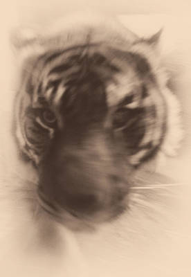 Photograph - Tiger Coming For You by Leah Palmer