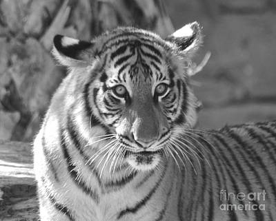 Photograph - Tiger Cub by Carol  Bradley