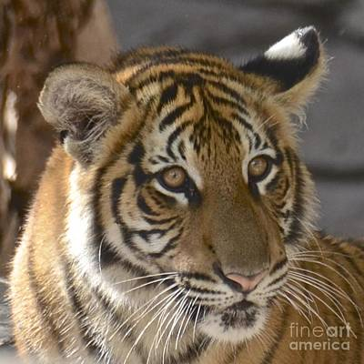 Photograph - Tiger Cub II by Carol  Bradley