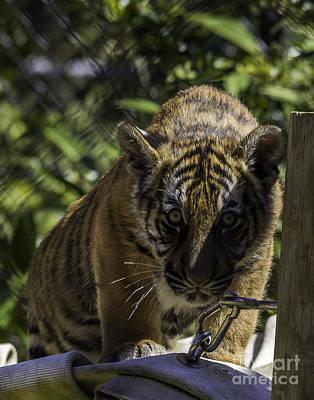 Photograph - Tiger Cub One by Ken Frischkorn