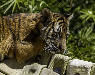 Photograph - Tiger Cub Two by Ken Frischkorn