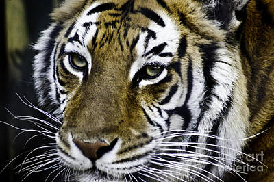 Photograph - Tiger by D C