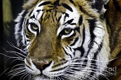 Tiger Art Print by D C
