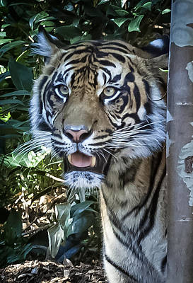 Photograph - Tiger by Dave Hall
