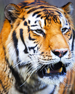 Photograph - Tiger by David Millenheft