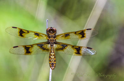 Tiger Dragonflies Photograph - Tiger Dragonfly Deux by Paul Frese