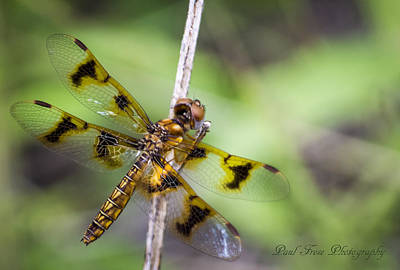 Tiger Dragonflies Photograph - Tiger Dragonfly by Paul Frese