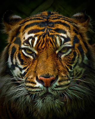 Photograph - Tiger Eyes by Elaine Snyder