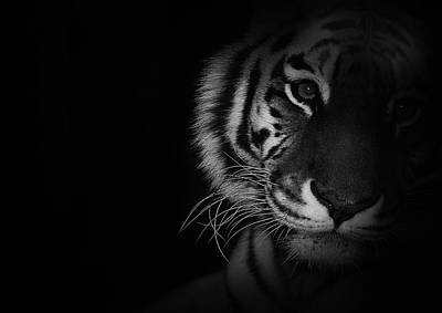 Animals Royalty-Free and Rights-Managed Images - Tiger Eyes by Martin Newman