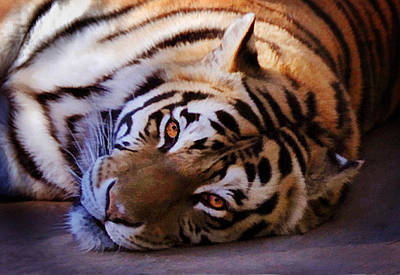 Photograph - Tiger Eyes by Melinda Hughes-Berland