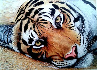 Ap Painting - Tiger Face by Sabir Ali