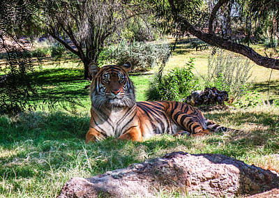 Photograph - Tiger by Fred Larson