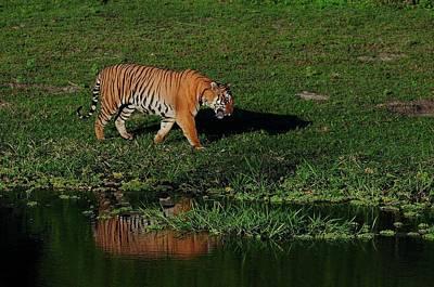 Karnataka Photograph - Tiger by From Rajani, Lend And Glare