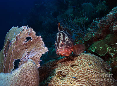 Photograph - Tiger Grouper by JT Lewis