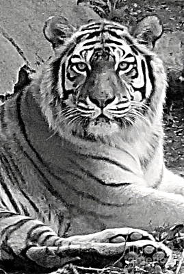Photograph - Tiger In Black And White by Patricia Januszkiewicz