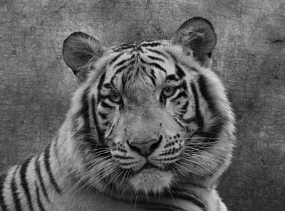 Photograph - Tiger In Black And White by Sandy Keeton