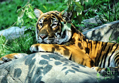 Photograph - Tiger In Shadows by Anne Ferguson