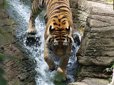 Tiger In The Waterfall Art Print by Adam L