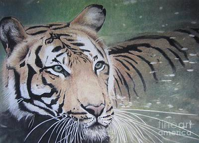 Animals Drawings - Tiger in water by Raine Cook
