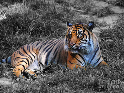 Photograph - Tiger by Jai Johnson