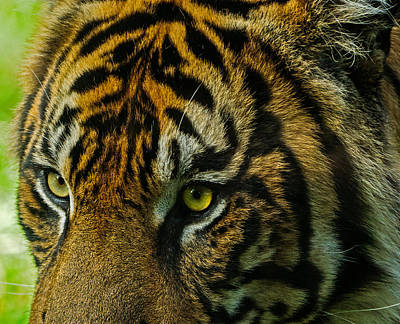 Photograph - Tiger by John Johnson