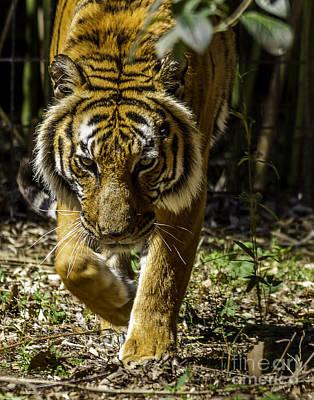 Photograph - Tiger by Ken Frischkorn