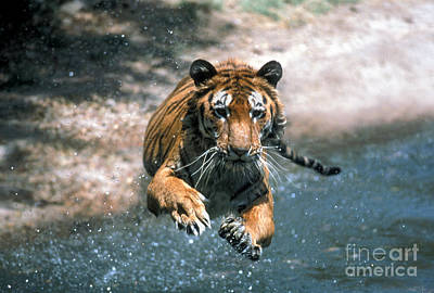 Tiger Leaping Art Print by Mark Newman