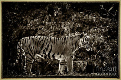 Photograph - Tiger by Les Palenik