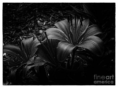 Photograph - Tiger Lilies by Bianca Nadeau
