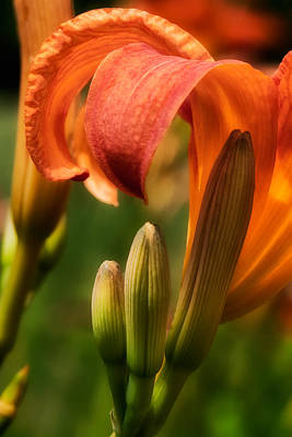 Tiger Lilly Art Print by Bill Wakeley