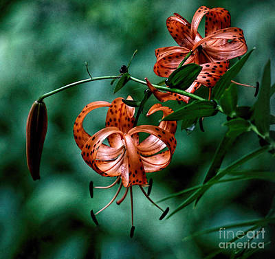 Wild Tiger Lily Photograph - Tiger Lily By James Figielski by Paulinskill River Photography