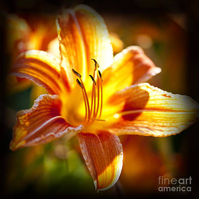 Tiger Lily Flower Art Print by Elena Elisseeva