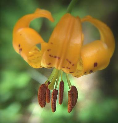 Photograph - Tiger Lily Softness by Suzy Piatt