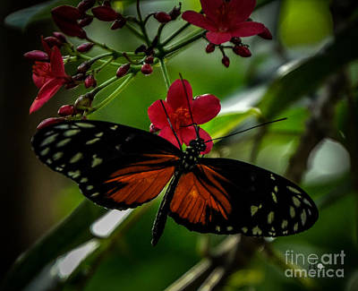 Photograph - Tiger Longwing And Red Flower by Ronald Grogan