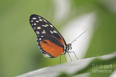 Photograph - Tiger Longwing Butterfly by David Grant