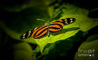 Photograph - Tiger Longwing Butterfly by Grace Grogan