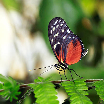 Tropical Butterfly Photograph - Tiger Longwing Butterfly by Grant Glendinning